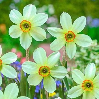Emerald Kiss<sup>™</sup> Daffodil