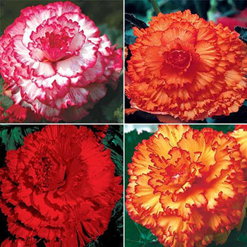 Prima Donna<sup>™</sup> Begonia Collection