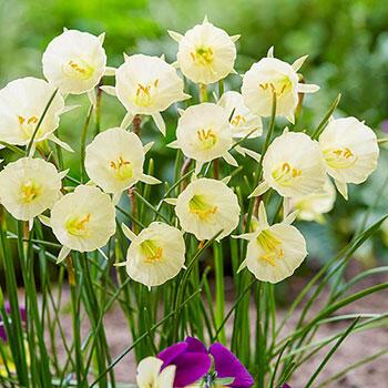 Arctic Bells Daffodil