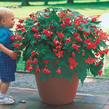 Bertinii Everblooming Begonia
