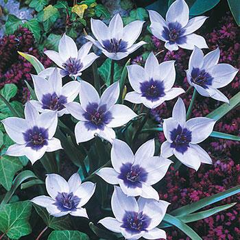 Wild Blue Heart<sup>™</sup> Tulip