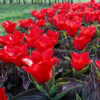 Red Riding Hood Tulip