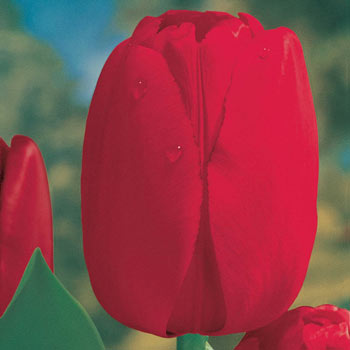 Red Dynasty<sup>™</sup> Tulip