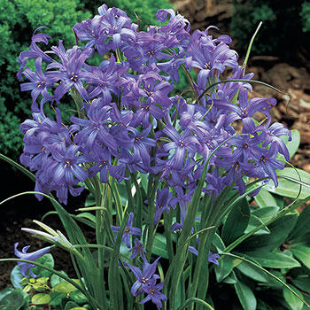 Lavender Mountain Lilies