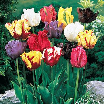 Parrot Tulip Mixture