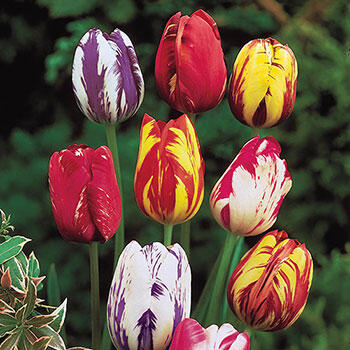Improved Rembrandt Tulip Mixture<sup>™</sup>