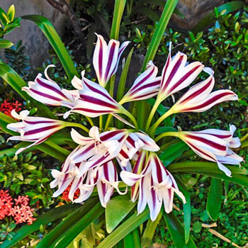 Bolivia Crinum Lily