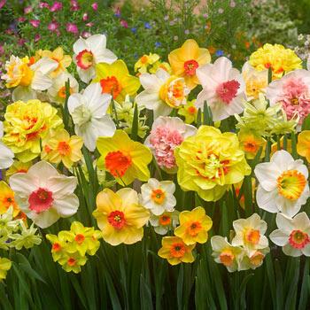 Technicolour<sup>™</sup> Daffodil Mixture