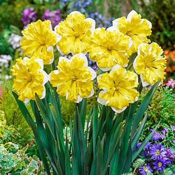 Banana Splash Daffodil