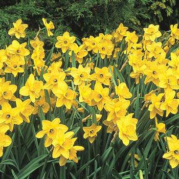 Carlton Daffodil