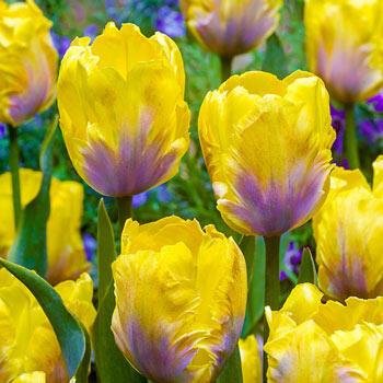 Golden Lizard Tulip