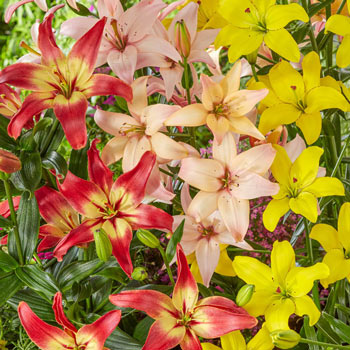Pollen-Free Lily Mixture