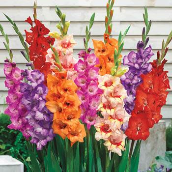 Glamini<sup>®</sup> Gladiolus Mixture