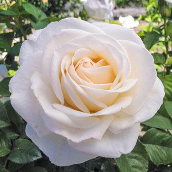 Easy Spirit<sup>™</sup> Floribunda Rose