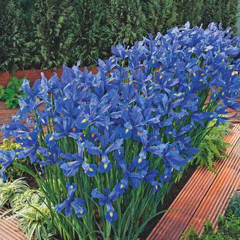 Discovery Dutch Iris Bulbs