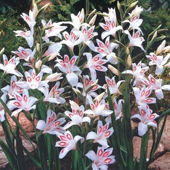 Nymph Hardy Gladiolus