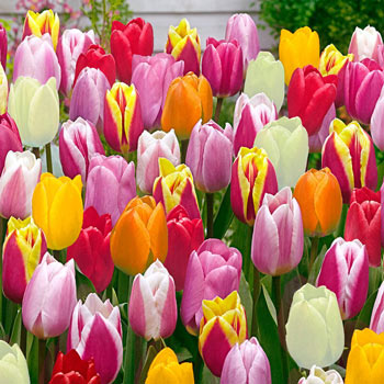 Improved Perennial Tulip Mixture