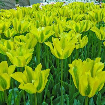 Formosa Tulip