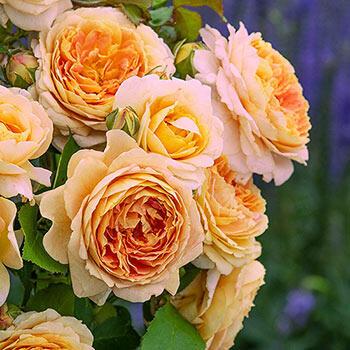 Fun in the Sun™ Hybrid Tea Rose