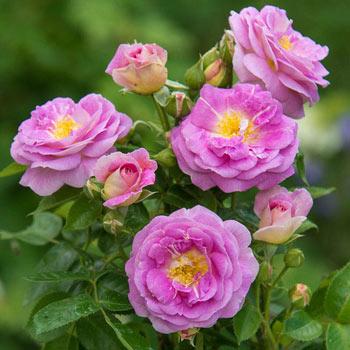 Arctic Blue<sup>™</sup> Floribunda Rose