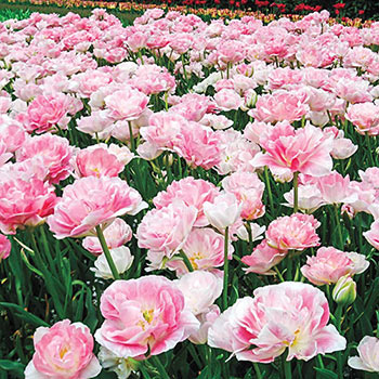 Foxtrot Double Tulip
