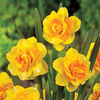 Double Beauty Daffodil