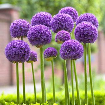 Gladiator Allium