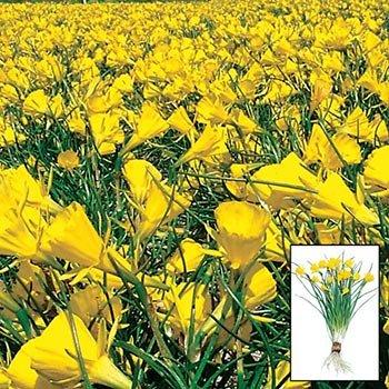 Golden Bells Carpet Daffodil<sup>™</sup>