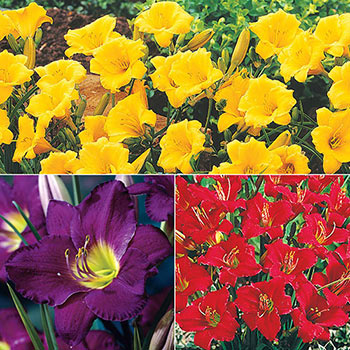 Breck's<sup>®</sup> Dwarf Reblooming Daylily Collection