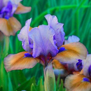 Blueberry Tart Dwarf Bearded Iris