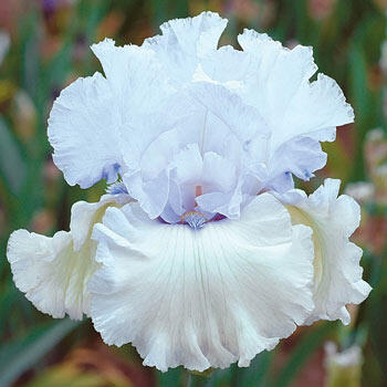 Chinook Winds Bearded Iris