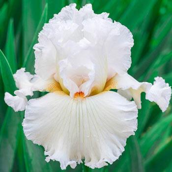 Catch A Star Bearded Iris