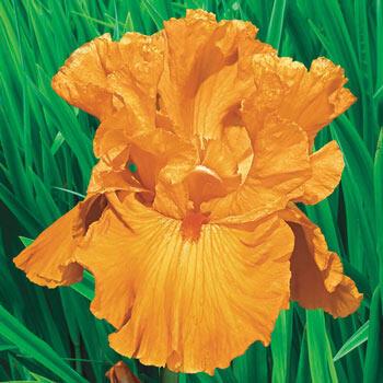 Edgefield Glow Bearded Iris