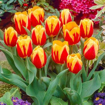 Keizerskroon Tulip (Emperor's Crown)