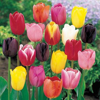 Cream-of-the-Crop Tulip Mixture Super Sak<sup>®</sup>