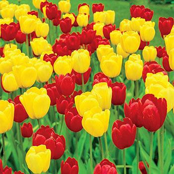 Long-Stemmed Perennial Tulip Duet Super Sak<sup>®</sup>