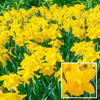 Yellow Trumpet Daffodil Super Sak<sup>®</sup>