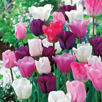 Monet's Garden<sup>™</sup> Tulip Mixture