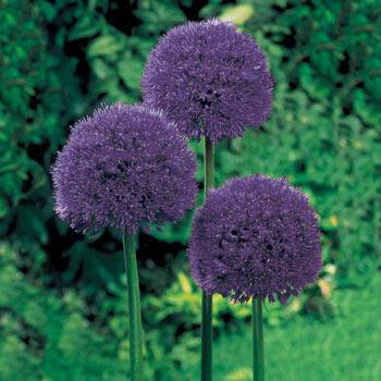 Persian Blue™ Allium Super Sak<sup>®</sup>