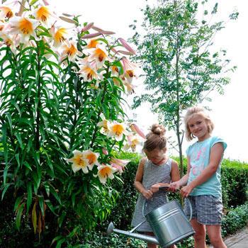 High Tea Lily Tree<sup>®</sup>