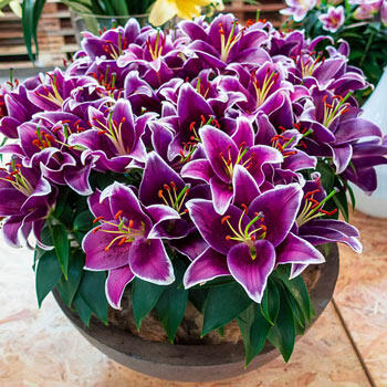 Sunny Keys Oriental Carpet Border Lily™