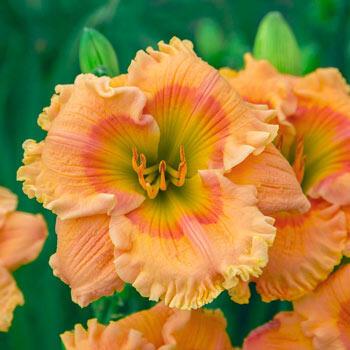 Orange Smoothie Reblooming Daylily