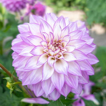 Clearview Debby Dahlia