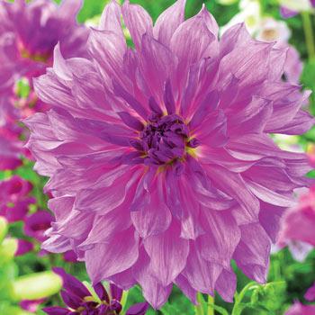 Lavender Ruffles Dahlia