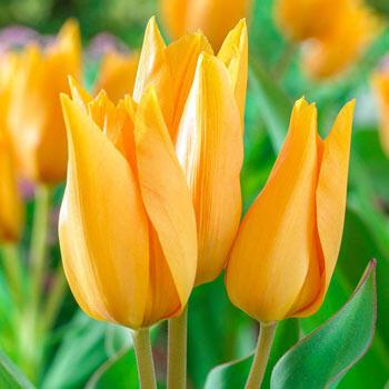 Shogun Tulip