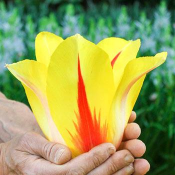 Hocus Pocus Tulip