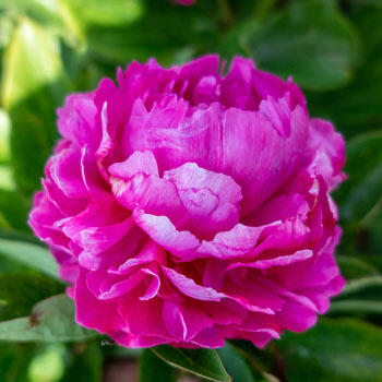 Riches & Fame Peony