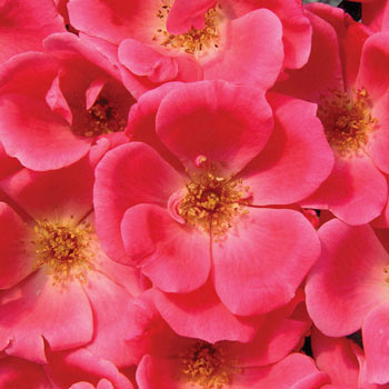 Pink Knock Out® Shrub Rose