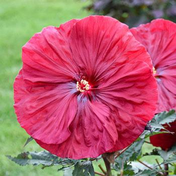 Blackberry Merlot Hibiscus