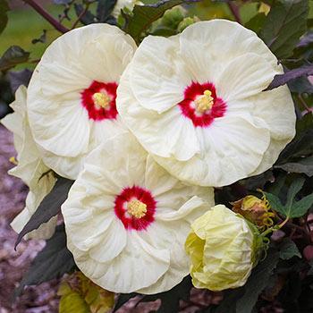 French Vanilla Hibiscus
